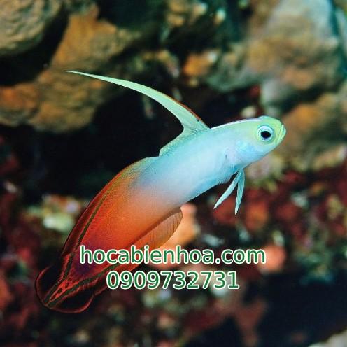 Cá Bống Cờ Lửa (Purple Firefish )