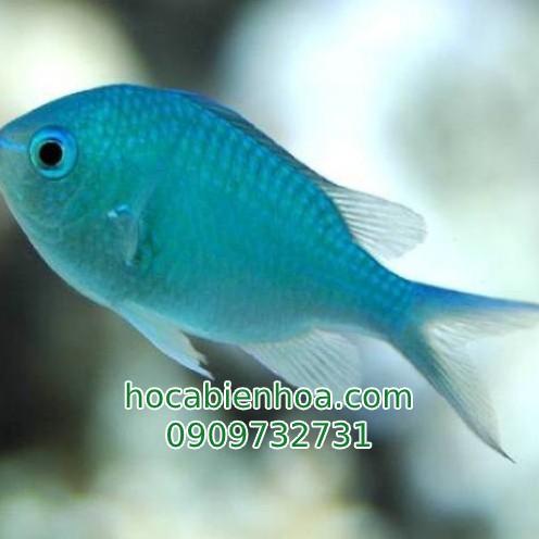 Cá Thia Lá Mạ (Blue Green Chromis)