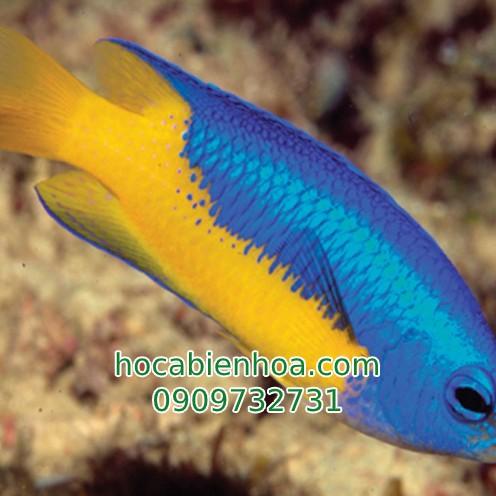 Cá Thia (Damselfish)