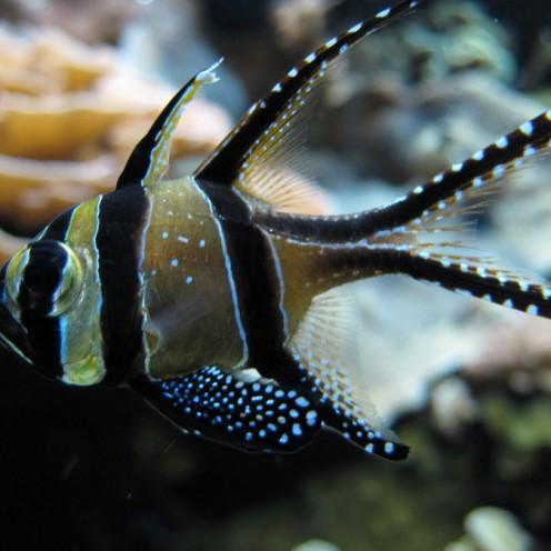 Cá Sơn Banggai (Kaudern's Cardinal Fish)