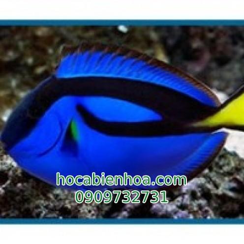 Cá Bắp Nẻ Xanh (Blue Tang)