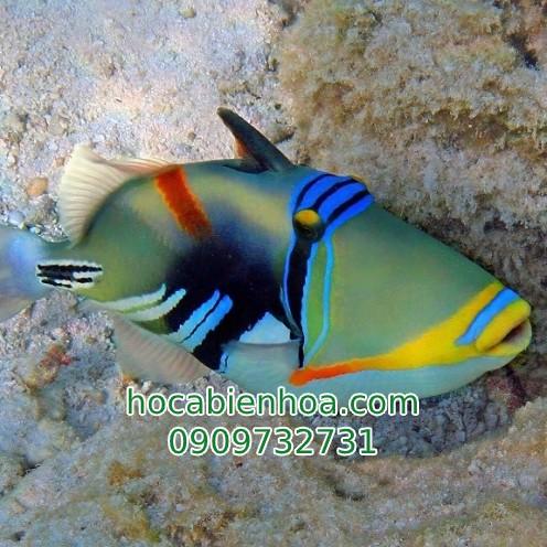 Cá Bò Mi Vẽ (Blackpatch Triggerfish)