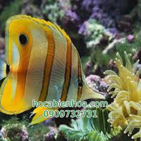 Cá Đào Học Trò (Copperband Butterflyfish)