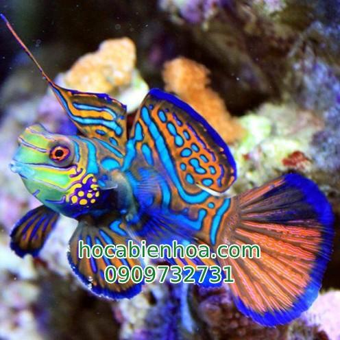 Cá Trạng Nguyên (Mandarinfish)