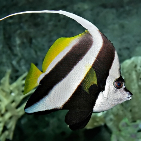 Cá Chim Cờ (Heniochus acuminatus)