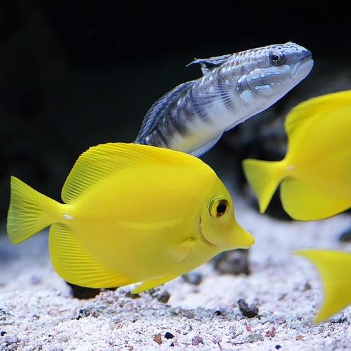 Cá Tang Vàng (Yellow Tang)