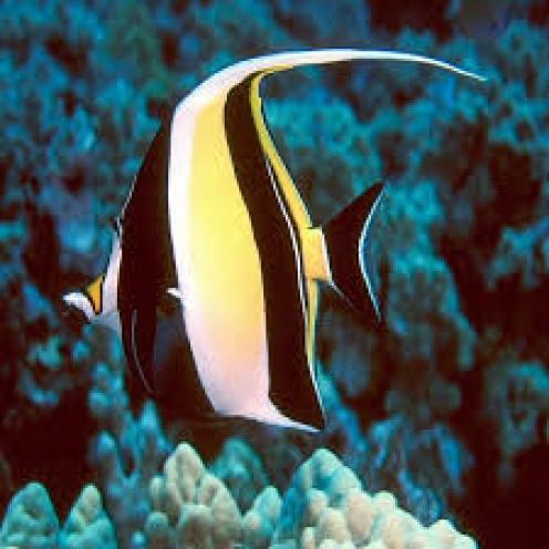 Cá Thù Lù (Moorish Idol - Zanclus cornutu)